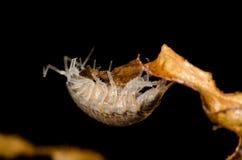 Pill bug Royalty Free Stock Photo