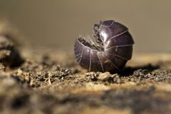 Pill bug Stock Photo