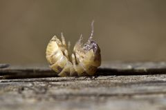 Pill bug Stock Photography