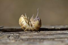 Pill bug Stock Photography