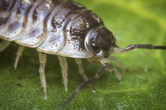 Pill Bug Armadillidiidae. Purple Roly Poly pill bug on green rock in macro close up photo Stock Photo