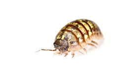 Pill bug isolated in white.  Royalty Free Stock Image