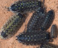 Free Pill Bug Or Doodle Bug Or Armadillidiidae Royalty Free Stock Images - 147783369
