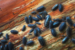 Pill Bugs. Many ugly pill bugs found under some loose bark of a dead tree stock photos