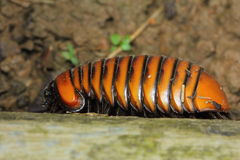 Pill Millipede Royalty Free Stock Image