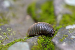 Pill millipede Royalty Free Stock Photo