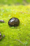 Pill Millipede walk on moss. In tropical forest, thailand Royalty Free Stock Photo