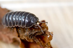 Pill or Sow Bug. A common terrestrial crustation the pill bug, or sow bug, also known as rollie-pollies. (Armadillidium sp Stock Image