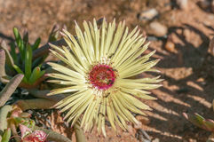 Pillansii Cephalophyllum, succulent унижать Namaqualand стоковая фотография rf