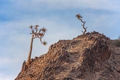 Pillansii 6 di Aloidendron dell'albero del fremito Fotografia Stock Libera da Diritti