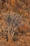 Pillansii 3 di Aloidendron dell'albero del fremito Fotografia Stock