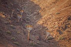 Pillansii gigante di Aloidendron dell'albero del fremito Immagine Stock Libera da Diritti