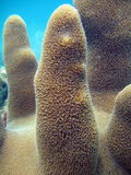 Pillar Coral. This image was taken off the beach in Pompano beach, Florida stock images