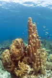 Pillar coral (Dendrogyra cylindricus) Royalty Free Stock Photos