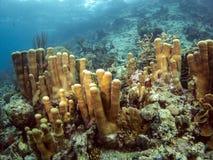 Pillar coral (Dendrogyra cylindricus) Stock Photography