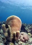 Pillar corals (Dendrogyra cylindricus) Royalty Free Stock Image