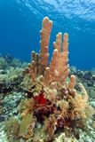 Pillar corals (Dendrogyra cylindricus) Stock Photos