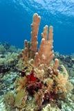 Pillar corals (Dendrogyra cylindricus) Stock Photos