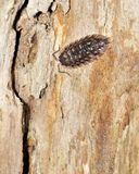 Pillbug. A pillbug perched on a tree trunk Royalty Free Stock Photo