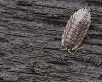 pillbug Obraz Royalty Free