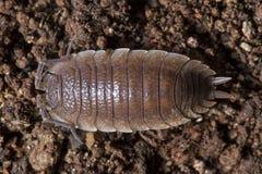 Pillbug en la suciedad Imagenes de archivo