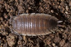 Pillbug på smutsen Arkivbilder