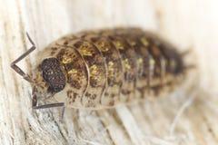 Pillbug sur le bois Image libre de droits