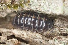 Pillbug on wood Stock Photos