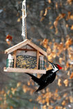 Pilliated Woodpecker Dining Stock Images