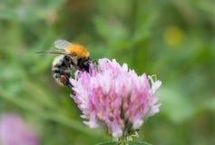 Pillination - bumble-bee στην άνθιση Στοκ Φωτογραφία