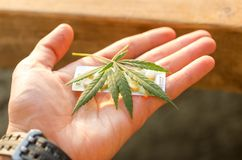 Pills and hemp in the palm of your hand. The man holds the medicine. Top royalty free stock photography