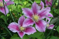Details of Piilu clematis blooms thrust outward  from a verdant garden Stock Photo
