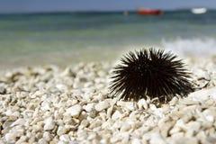 Pilluelo de mar. Foto de archivo