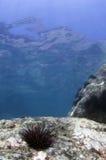 Pilluelo de mar Imagen de archivo