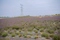 Pilon w kwitnąć lawendy pole Zdjęcie Royalty Free