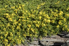Pilosa de Genista photo stock