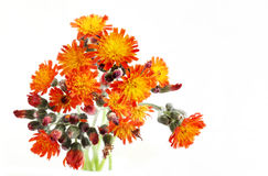 Pilosella aurantiaca Wildflower Stock Photos