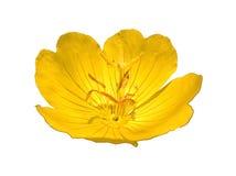 Pilosella do Oenothera da prímula isolado Imagem de Stock Royalty Free