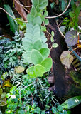 Piloselloides di Pyrrosia Fotografia Stock