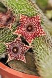 Pilosus di Stapelianthus Immagini Stock