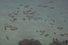 Pilot fish. School of pilot fish on sand background royalty free stock image