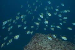 Pilot- fisk, medan dyka Royaltyfria Bilder