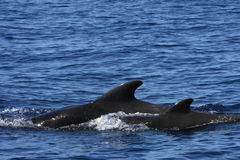 Pilot Whale Royalty Free Stock Photography