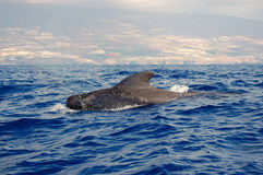 Pilot whale Stock Images