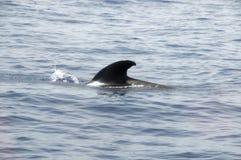 Pilot Whale stockfotos