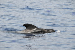 Pilot Whale Lizenzfreies Stockbild