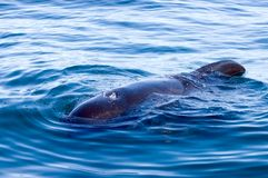 Pilot Whale. Close up of a half submerged pilot whale Royalty Free Stock Photos