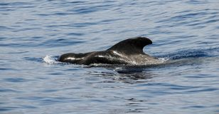 Pilot Whale Royalty Free Stock Image