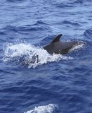 Pilot whale free in open sea blue mediterranean Royalty Free Stock Photo