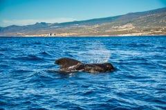 Pilot whale, Globicephala melas, Tenerife island, Canary islands, Spain. Royalty Free Stock Photography